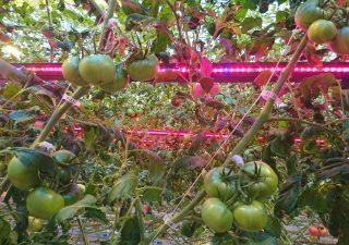 Ekologiczne lampy LED do uprawy pomidorów – Greenie LED Tomato Booster